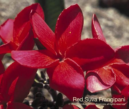 red_suva_frangipani