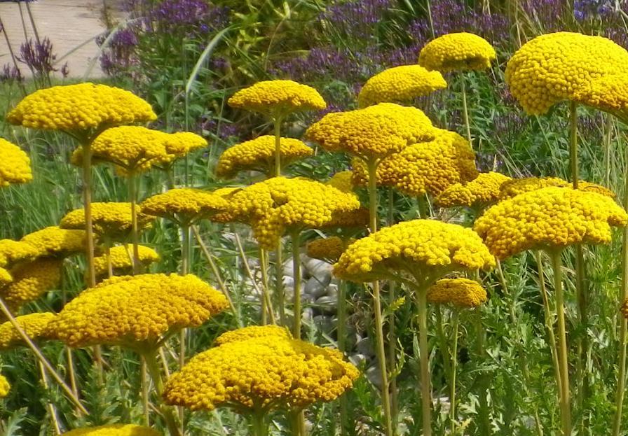 Achilliea filip Parkers Variety
