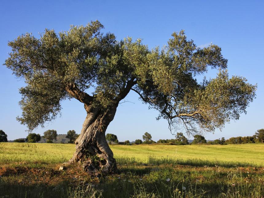 arbol-olivo-dieta-mediterrc3a1nea_96faf1_c