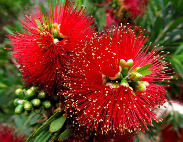 Le qualità del fiore australiano Bottlebrush