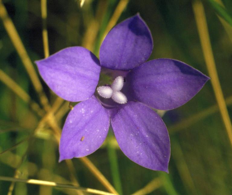 Bluebell fiore australiano