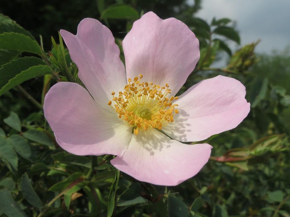 wild rose bach fiore