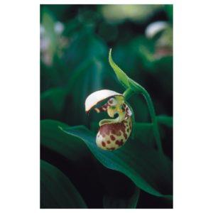 lady-s-slipper-cyprepedium-guttatum