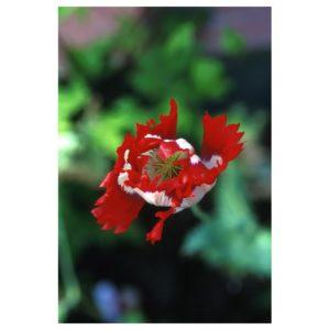 opium-poppy-papaver-sominifera
